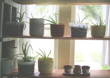 my growing number of aloe vera plants