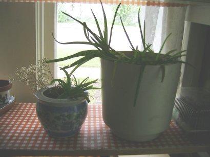the aloe vera left to plant my next session