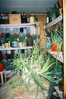 big pail full of aloe vera and others in the sunroom