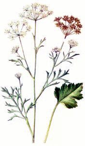anise in flower and seed