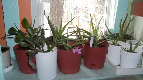 a cluster of aloe vera plants on the middle shelf.