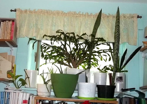 the plants in the upper east window in my office/living room