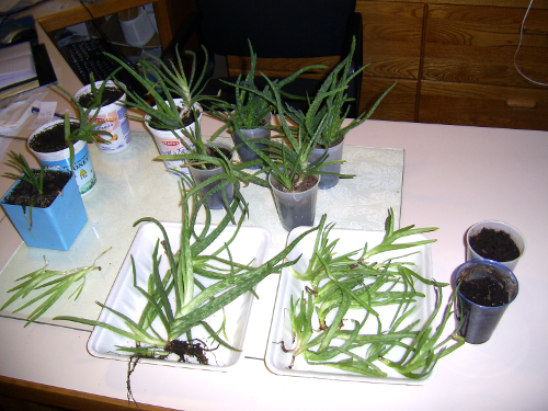 more small aloe vera plants ready to put into pots of their own