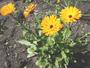 Calendula, of the marigold family, is a great herb for skin problems