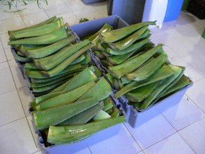 aloe vera leaves cut and ready to process