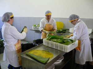 ALVEDAMA staff fileting the aloe vera leaves