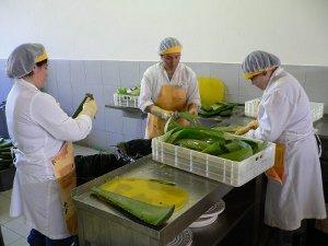 ALVEDAMA staff fileting the aloe vera leaves