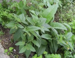 my comfrey in mid-summer