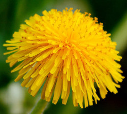 what are dandelions good for?