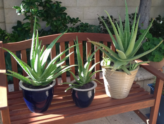 Eric Thomson's large aloe vera plants