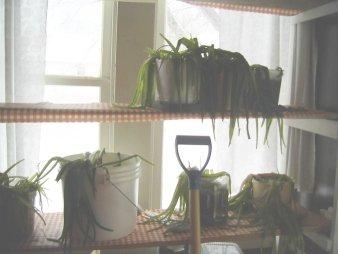 my frozen aloe vera plants in the unheated porch this last winter
