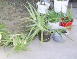 a few aloe vera plants lined up for my garage sale