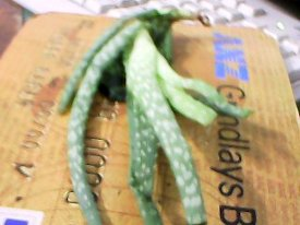 the aloe vera plant out of the mail package