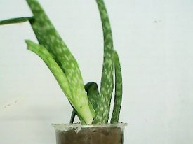 another view of the aloe vera planted