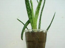 another view of the aloe vera plant