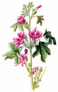 mallow - the herb