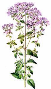 marjoram in bloom