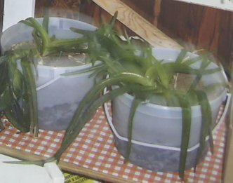 some of my frozen aloe vera in the porch