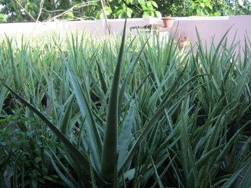 Sarita's aloe vera plants for sale