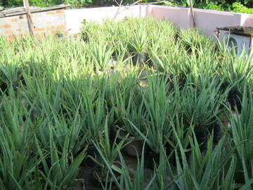 70 percent of Sarita's roof full of aloe plants
