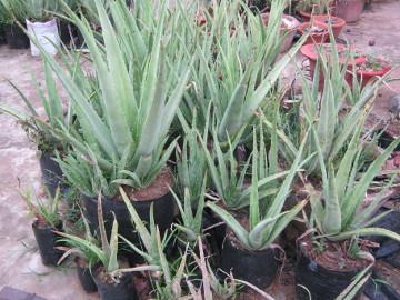 Sarita has both large and small plants