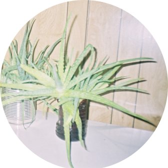 aloe vera plants have few side effects  - if any