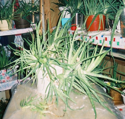 another large pail full of 26 aloe vera plants!