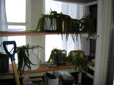 When I moved to the city I put my extra 45 plants in the front porch where they froze over night