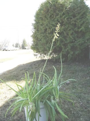 my oldest, largest and flist blooming aloe vera plant taken April 2007