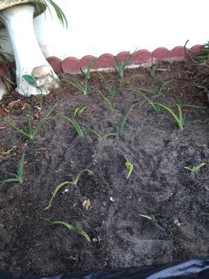 more of Kristina's planted aloe vera