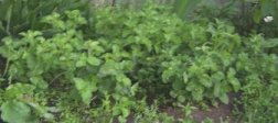 Mint growing rapidly in my flowerbeds