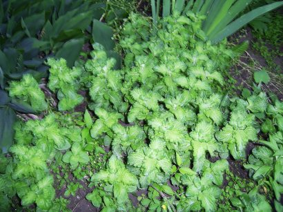 luscious mint in my flower beds