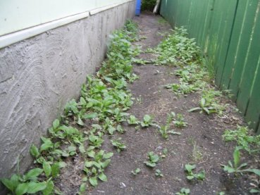 see how plantain grows right in a footpath that gets hardly any  light or water - God provided everywhere for the poor