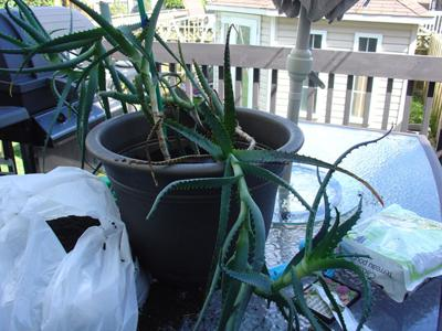 Daphne's agressively growing aloe vera