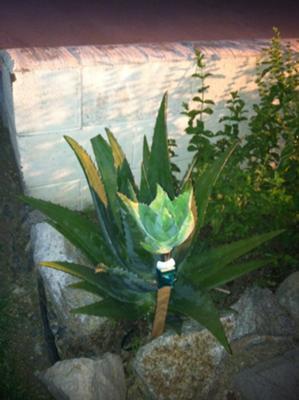 Vero's Aloe Vera Plant